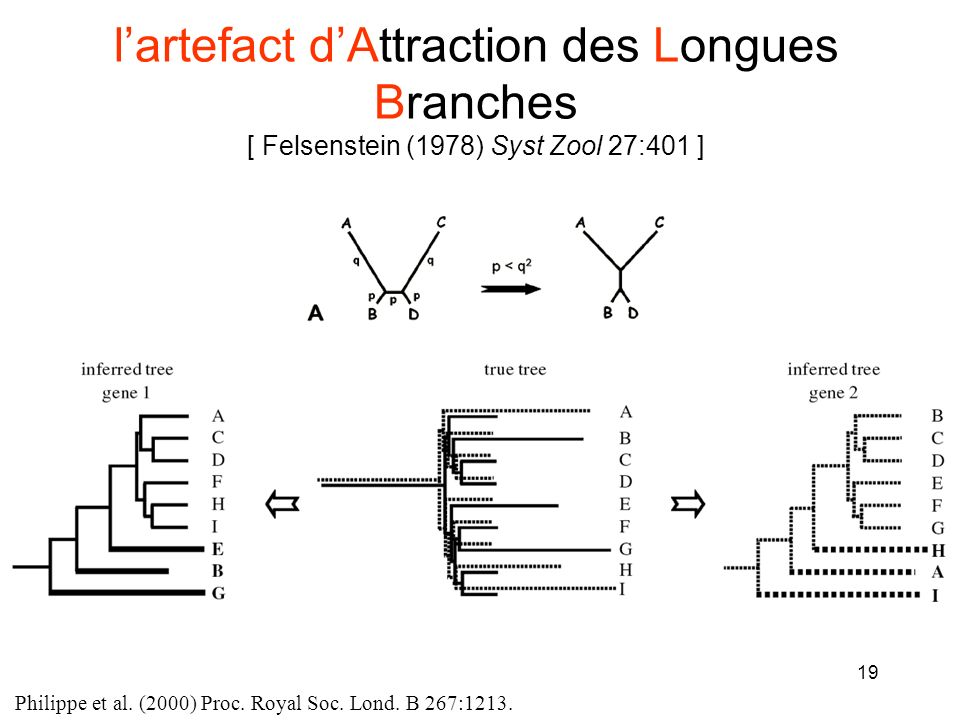 l'artefact d'Attraction des Longues Branches [ Felsenstein (1978) Syst Zool 27:401 ]